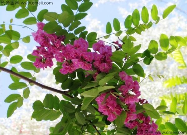 红花槐种子发芽出苗开花图片