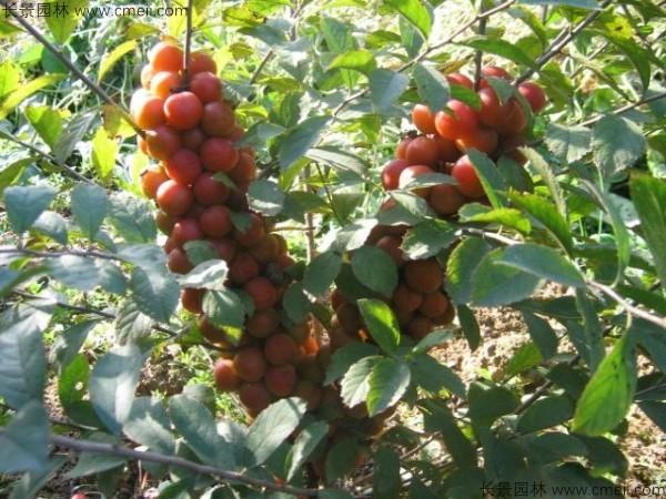 钙果种子发芽出苗开花结果图片