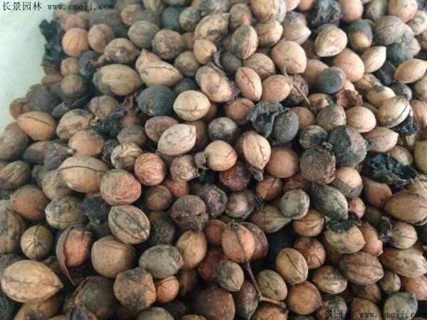钙果种子图片