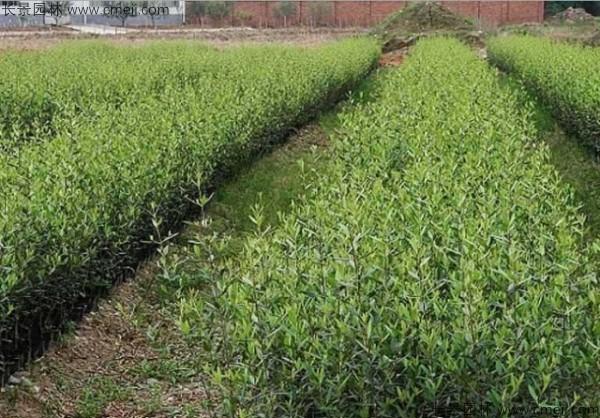 橄榄种子发芽出苗图片