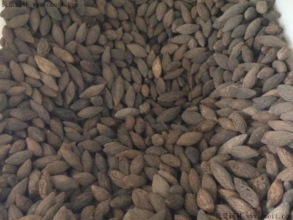 橄榄种子图片