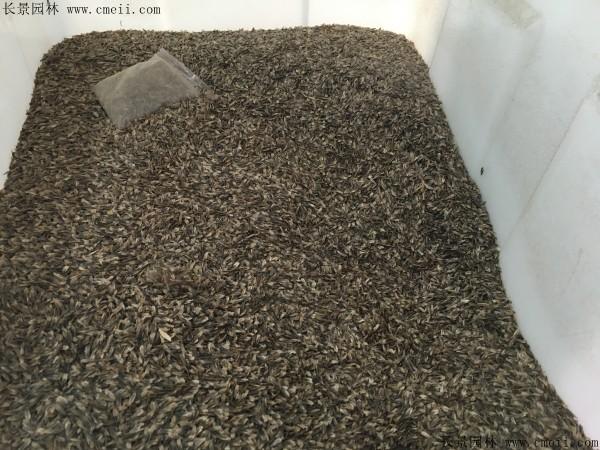 枫香种子图片