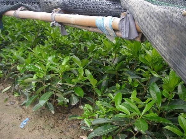 法国冬青种子发芽出苗图片