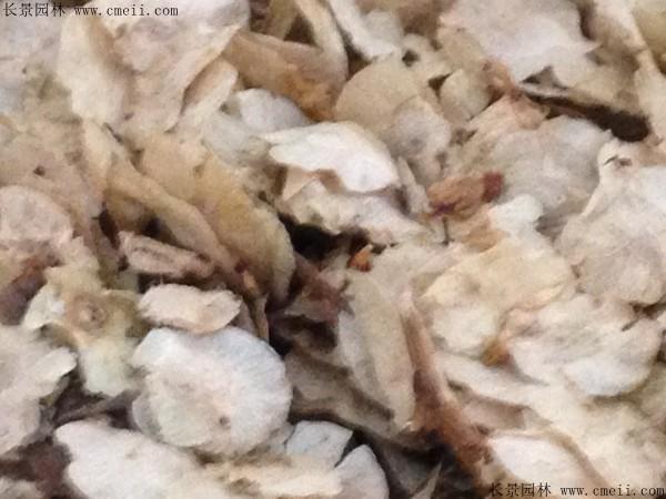 白榆种子图片
