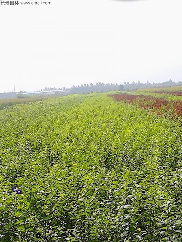 白榆种子发芽出苗图片