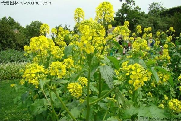 白芥子种子发芽出苗开花图片