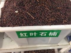 红叶石楠种子