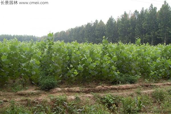 法桐种子发芽出苗图片