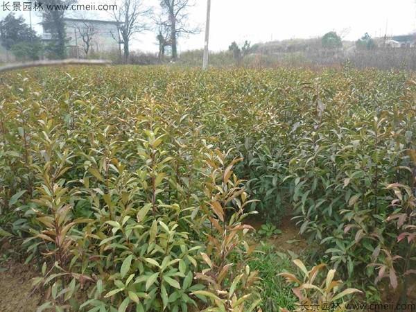杜英种子发芽出苗图片