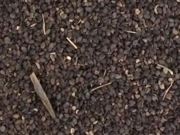 败酱草种子图片