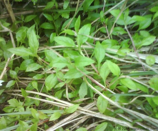 败酱草种子发芽出苗图片