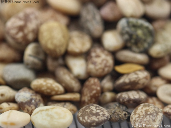 鲁冰花种子图片
