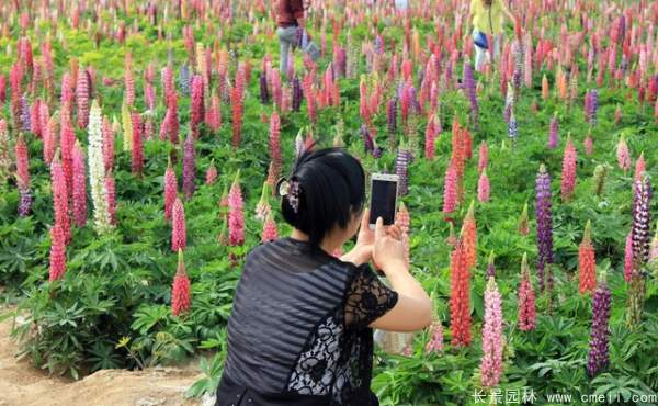鲁冰花种子发芽出苗开花图片