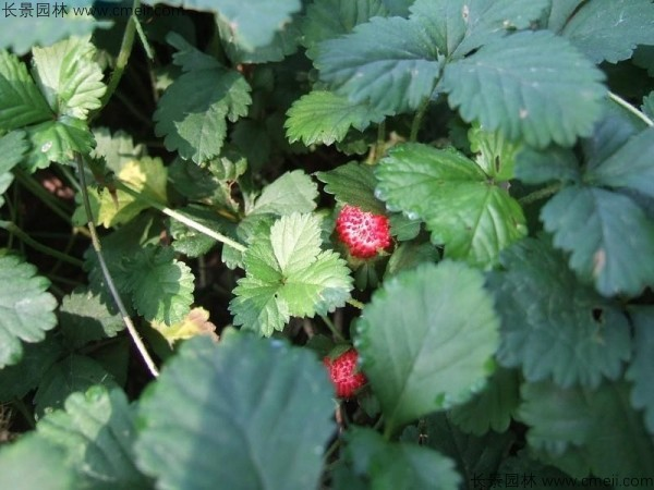 蛇莓种子发芽出苗结果图片