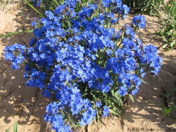 南非牛舌草种子发芽出苗开花图片