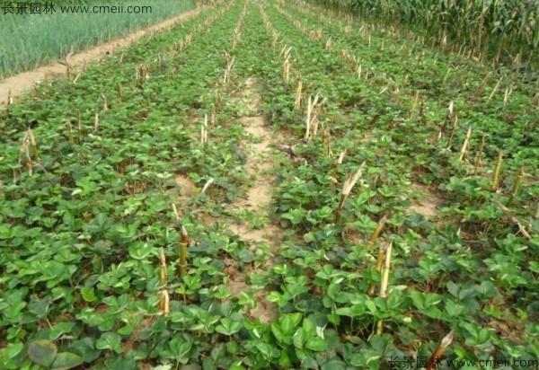 草莓种子发芽出苗图片