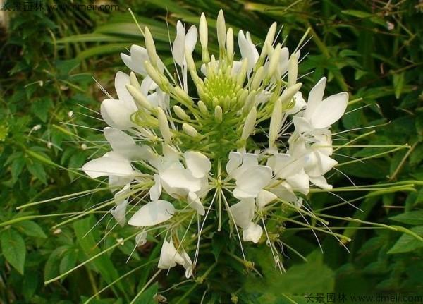 醉蝶花种子发芽出苗开花图片