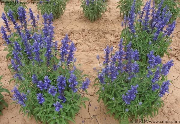 鼠尾草种子发芽出苗开花图片