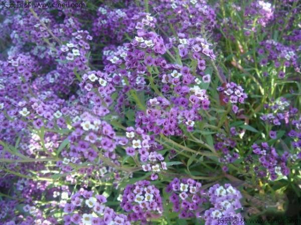 香雪球种子发芽出苗开花图片