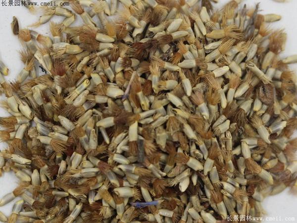 矢车菊种子图片