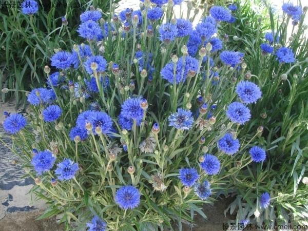 矢车菊种子发芽出苗开花图片