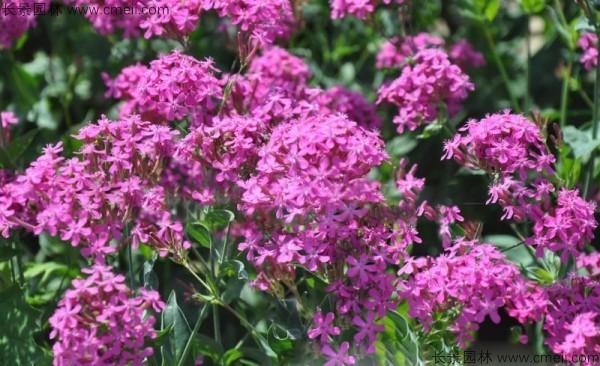 高雪轮种子发芽出苗开花图片
