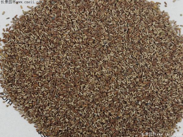 马鞭草种子图片