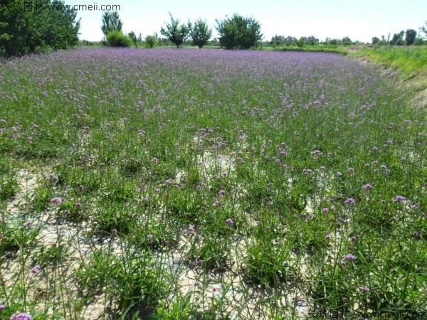 马鞭草种子发芽出苗开花图片