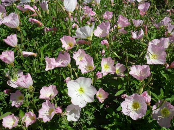 美丽月见草种子发芽出苗开花图片