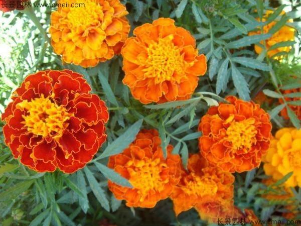 孔雀草种子发芽出苗开花图片