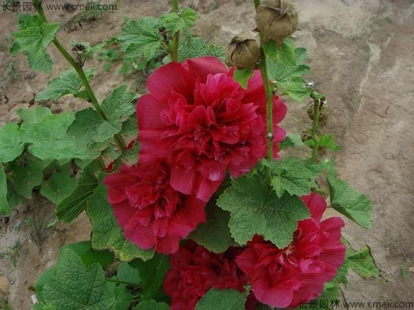 锦葵种子发芽出苗开花图片