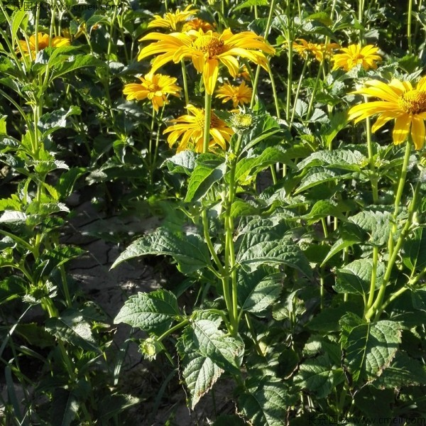 日光菊有几种颜色