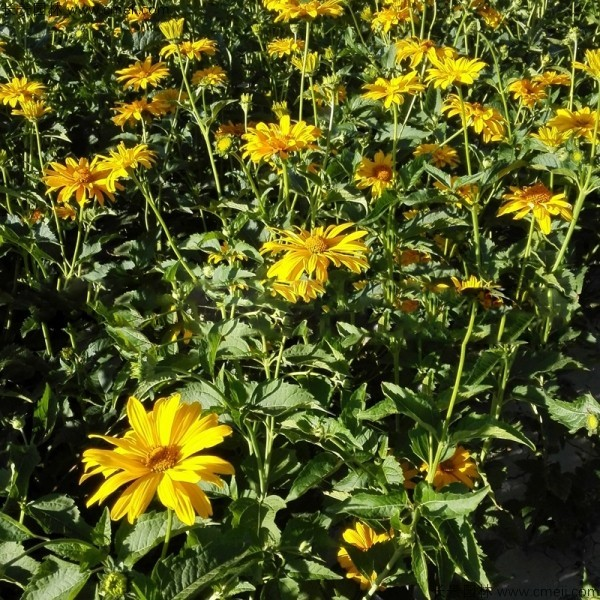 日光菊种子发芽出苗开花图片