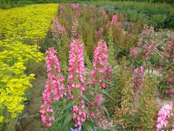 吊钟柳种子发芽出苗开花图片