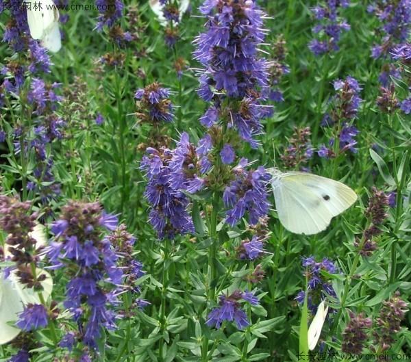 留兰香薄荷种子发芽出苗开花图片