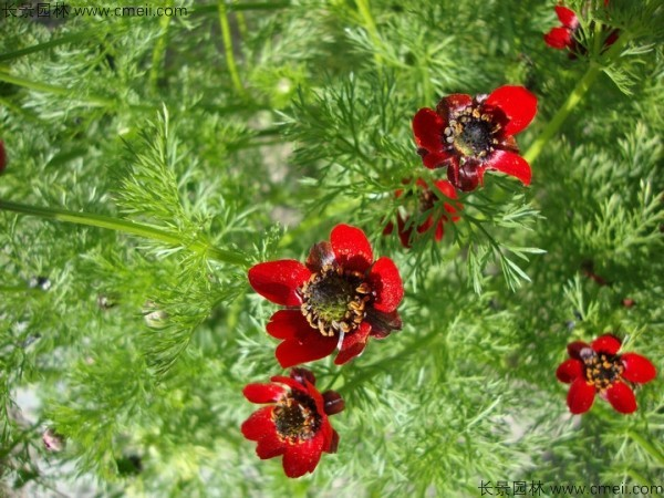 福寿花种子发芽出苗开花图片