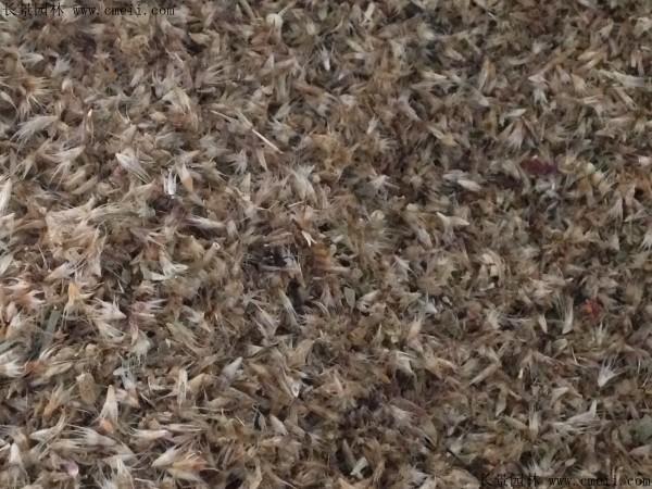 天人菊种子图片