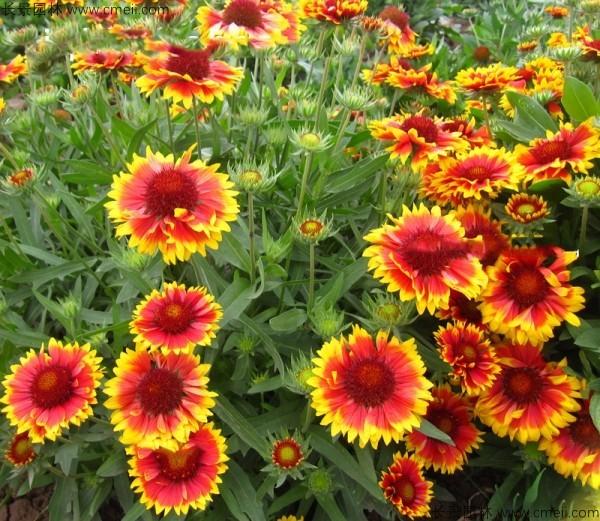 天人菊种子发芽出苗开花图片