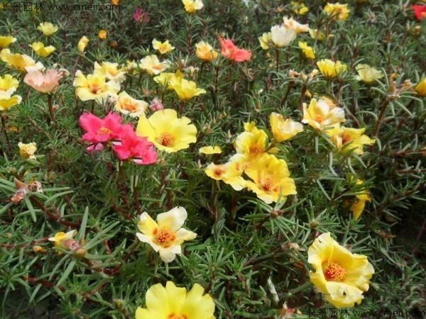 半枝莲种子发芽出苗开花图片