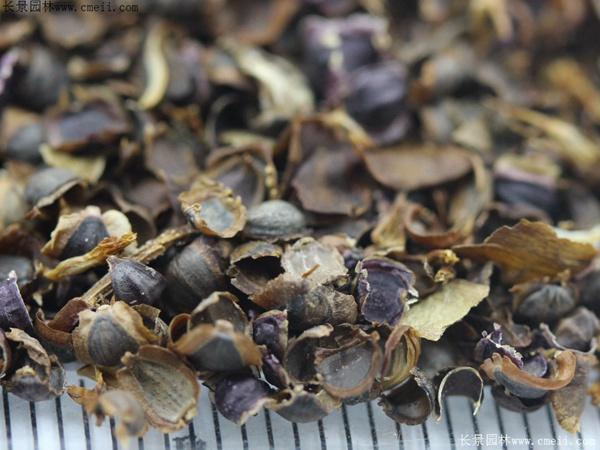 金鸡菊种子图片