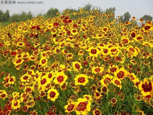 金鸡菊种子发芽出苗开花图片