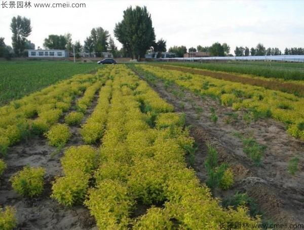 绣线菊种子发芽出苗图片