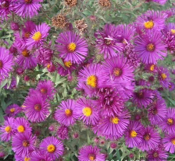 除虫菊种子发芽出苗开花图片