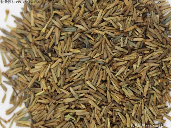 除虫菊种子图片