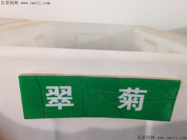 翠菊种子图片