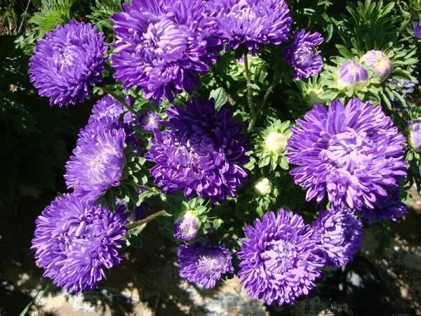 翠菊种子发芽出苗开花图片