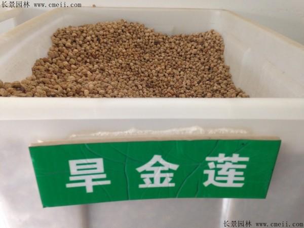旱金莲种子图片
