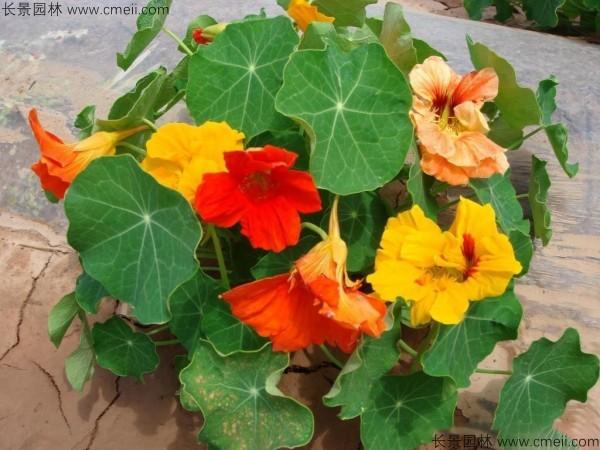 旱金莲种子发芽出苗开花图片
