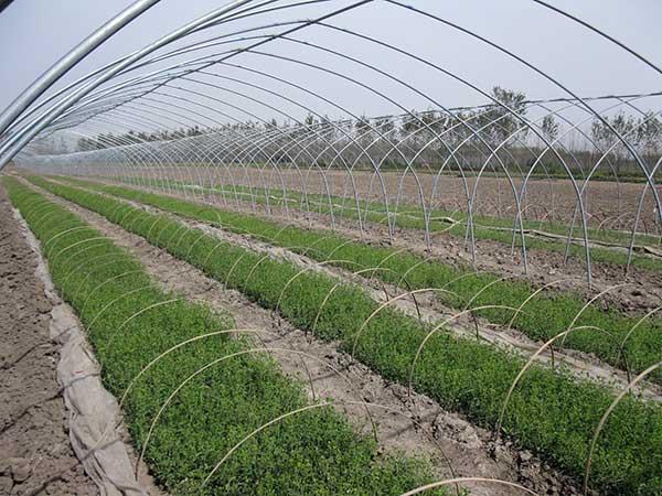 甜叶菊种子发芽出苗图片