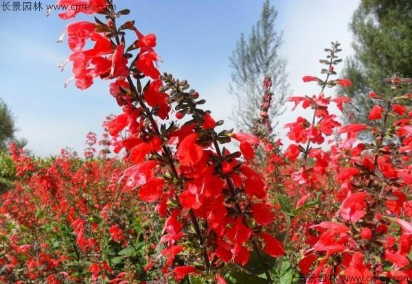 一串红种子发芽出苗开花图片